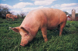 Pig grazing in field.